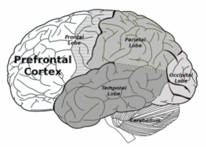 brain, prefrontal cortex, brain regions