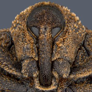 Mango-seed-weevil-head