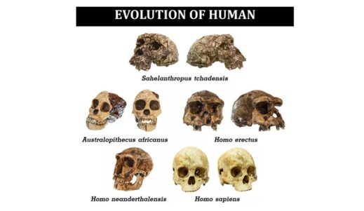 The skulls of various human species